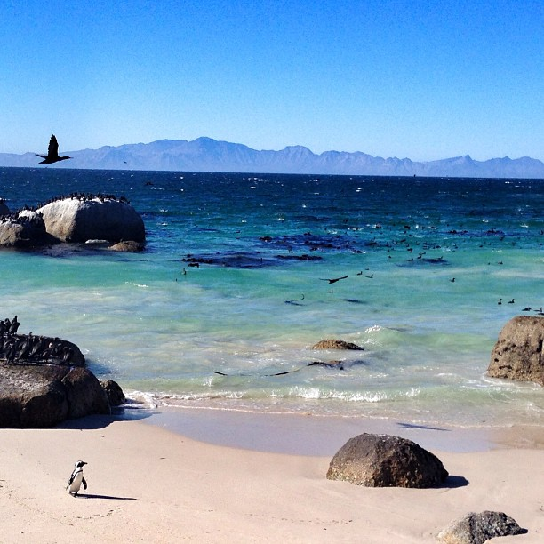 african penguins boulders beach capetown