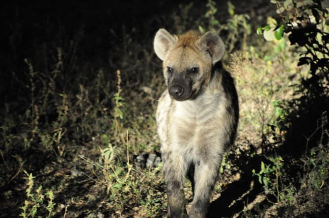 kapama south africa hyena