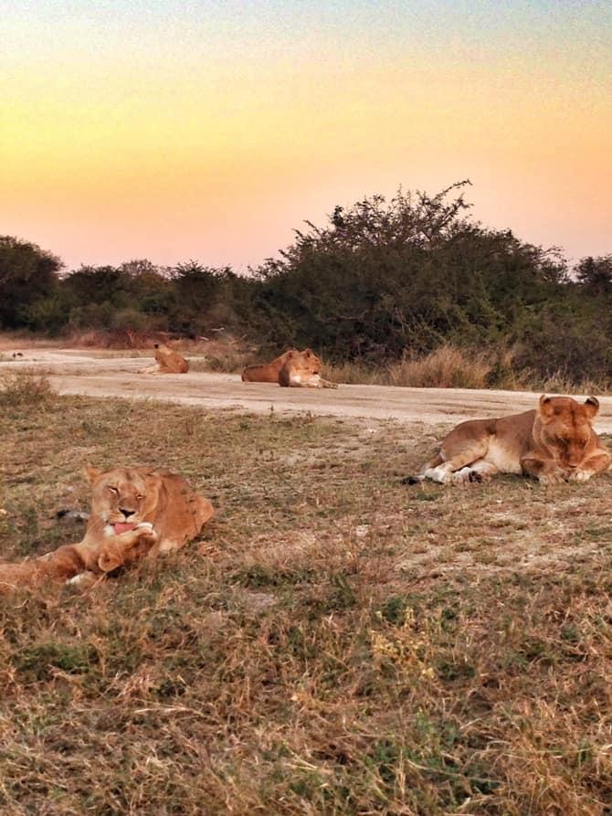 kapama pride of lions