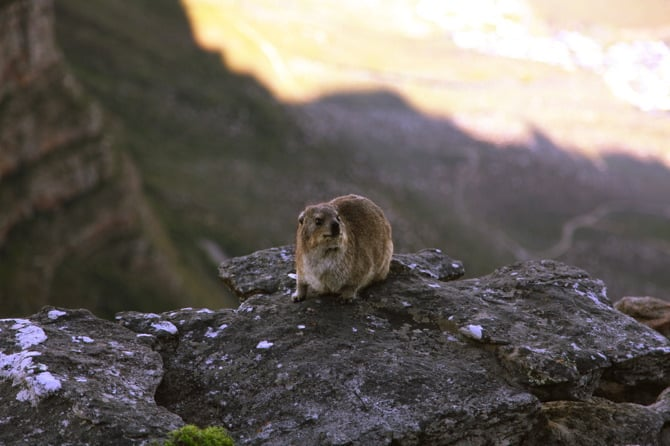 Table mountain rock dassie south africa
