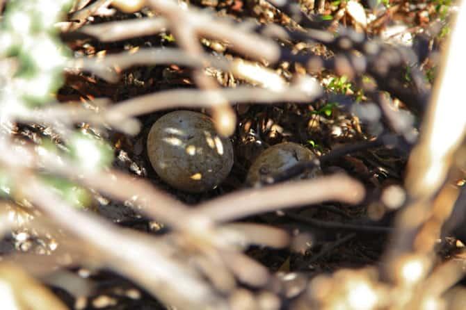 boulder beach penguin eggs