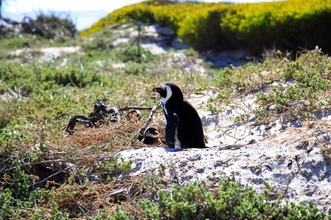 boulders beach mama penguin