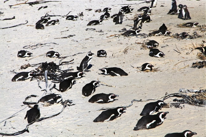 boulder's beach penguins on sand