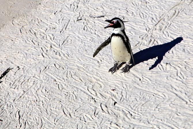 boulders beach talking penguin