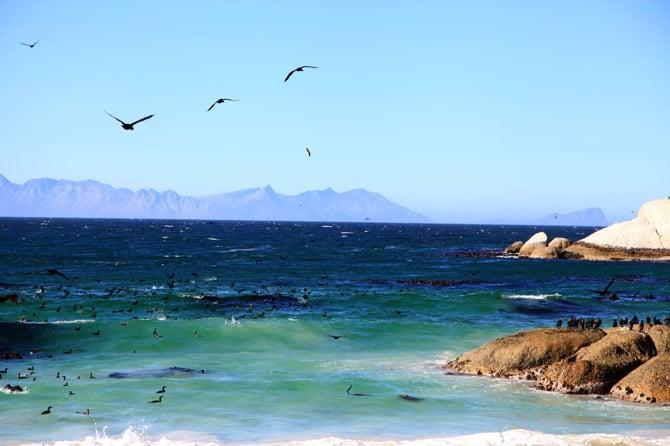 boulders beach cormorants