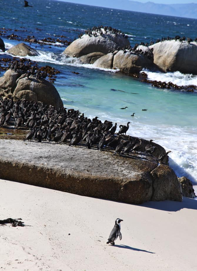 african penguins at bolders beach