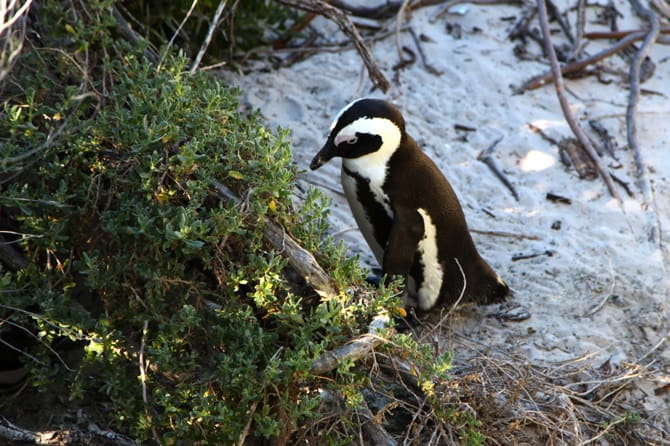 boulders beach close up african penguin