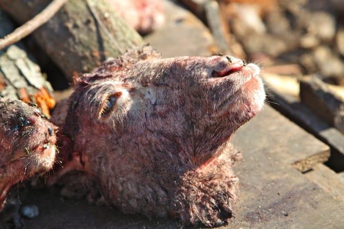 langa township sheep head