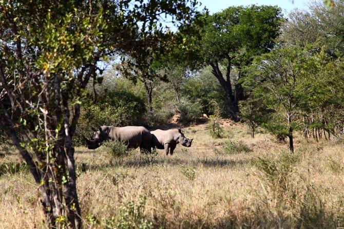 rhinoceros south africa kapama baby and mom