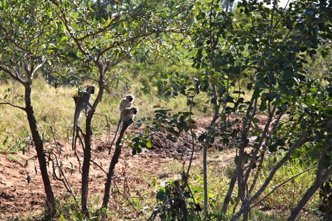 kapama south africa vervet monkeys