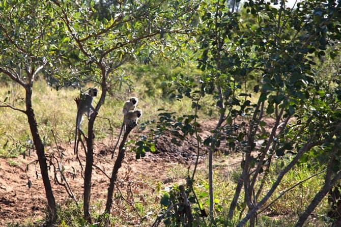 kapama south africa vervet monkeys