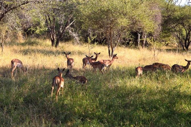 south africa kapama impala