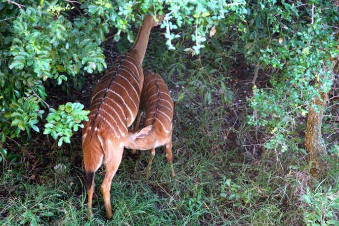 kapama south africa impala nursing