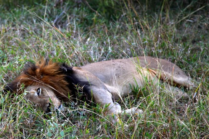 kapama south africa sleeping lion