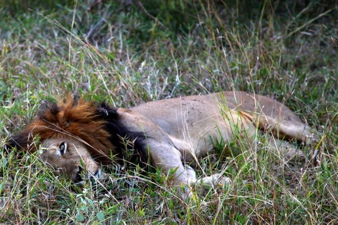 kapama south africa sleeping lion