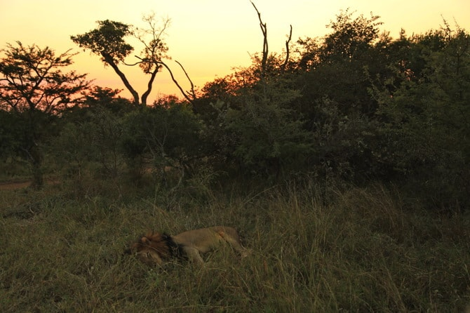 kapama south africa lion sleeping sunset