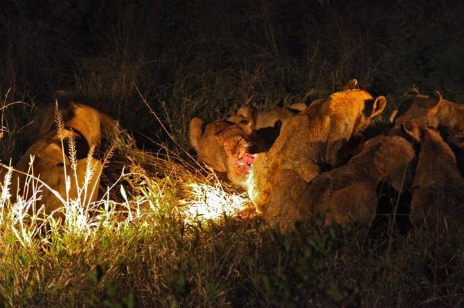 kapama south africa lions eating warthog