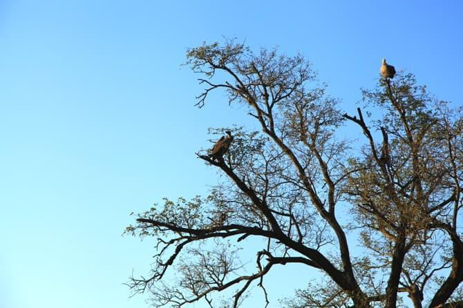 kapama south africa vulture