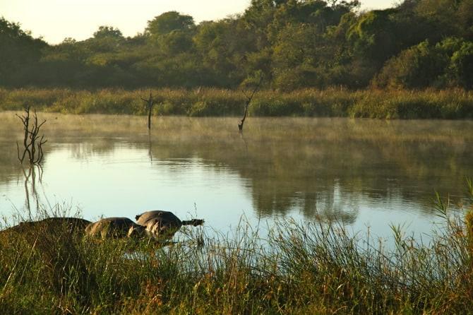 kapama south africa hippo