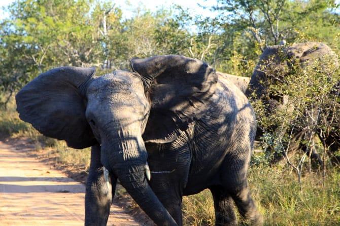 elephant kapama south africa safari