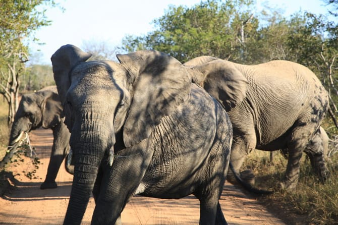 kapama south africa elephant