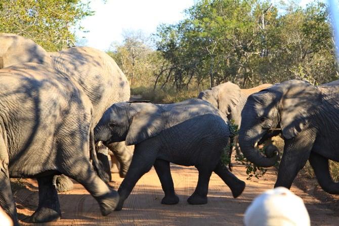 elephant kapama south africa baby