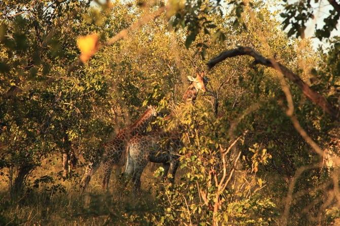 giraffe kapama south africa 1