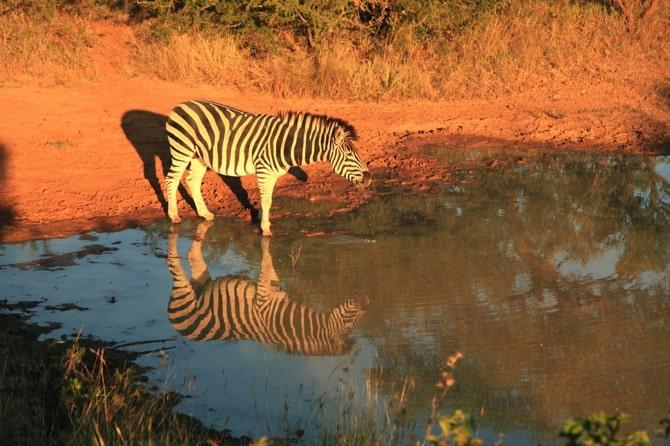 zebra kapama south africa 2