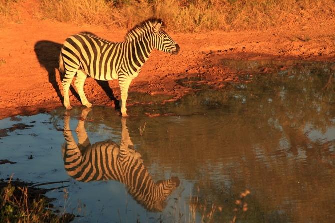 zebra kapama south africa 1