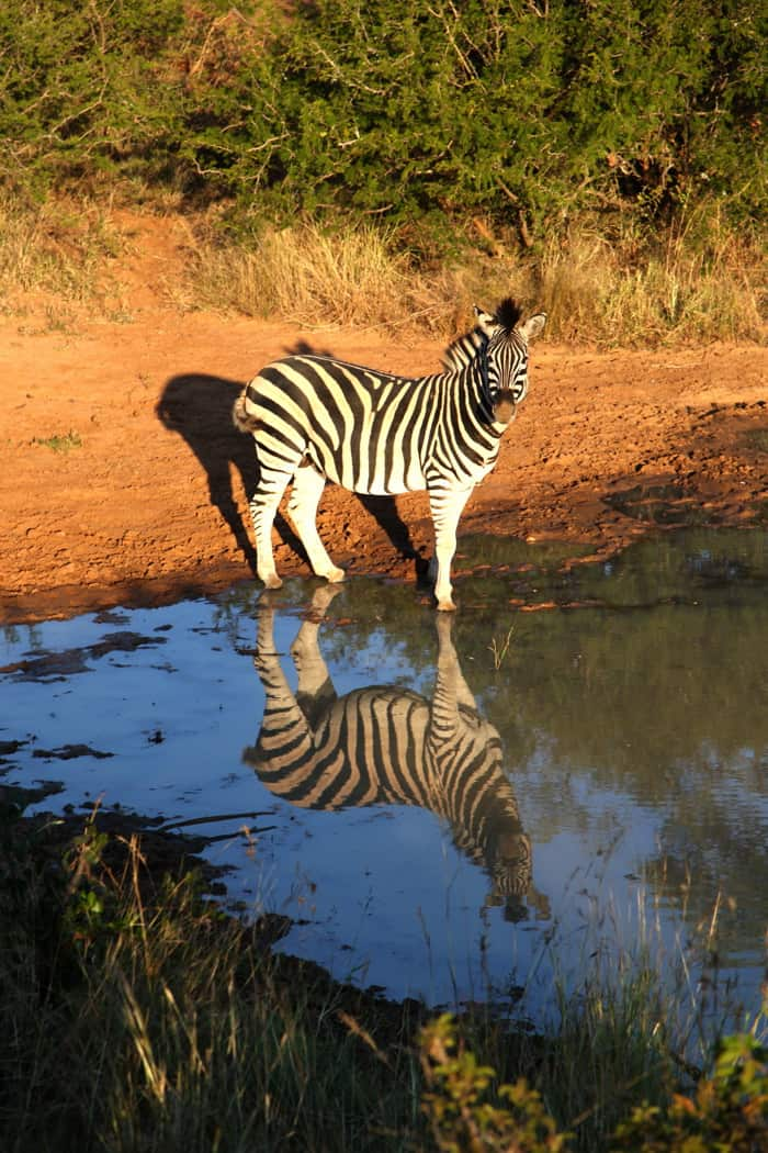 zebra reflection kampala south africa
