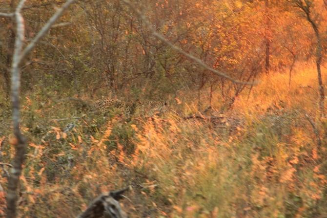 kapama leopard camouflage
