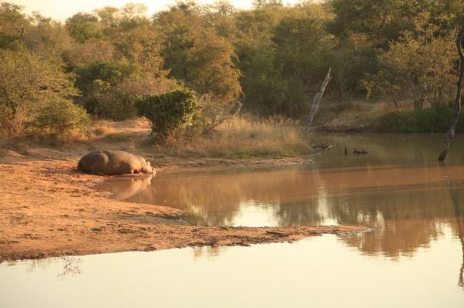kapama lone male hippo 4