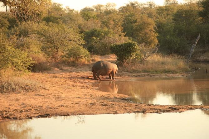 kapama lone male hippo 2