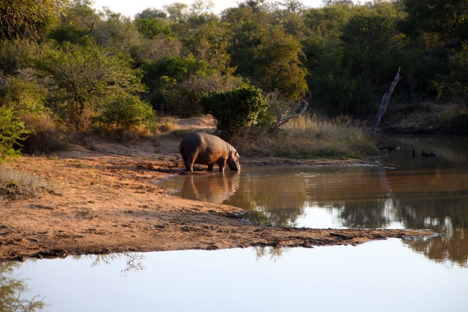 kapama lone male hippo 1
