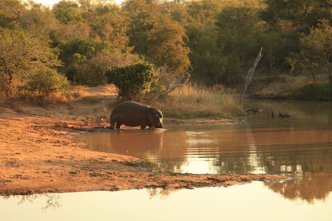 kapama lone male hippo