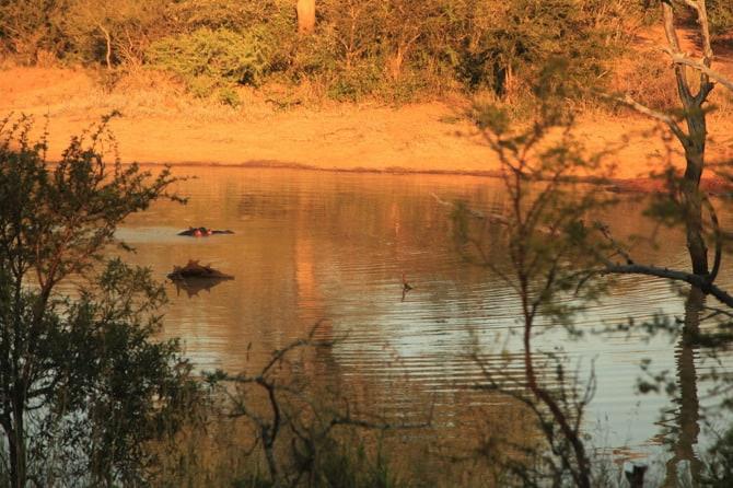 kapama hippo swimming