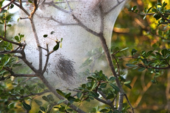 kapama caterpillar tree