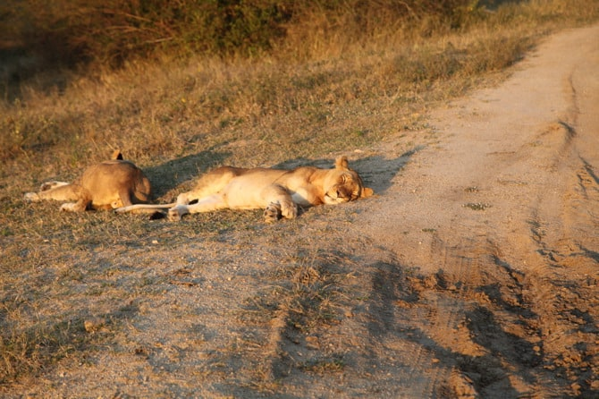 kapama lions sleeping