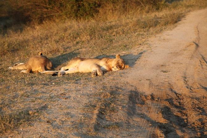 kapama lions sleeping