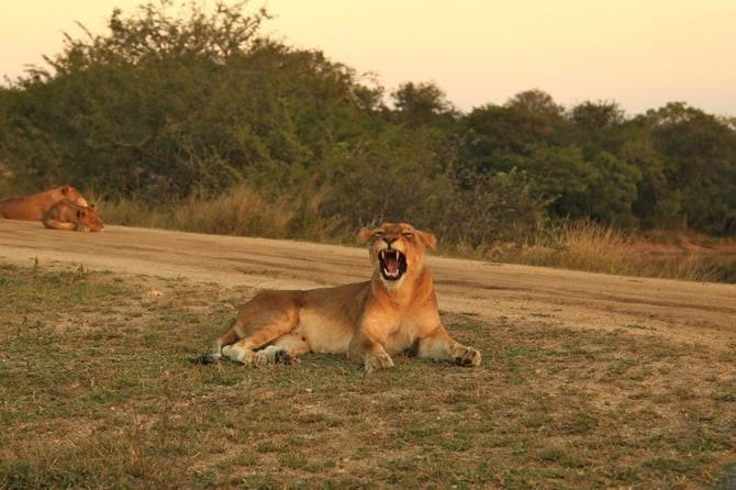 kapama lion yawning