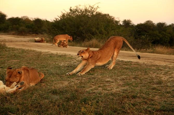 kapama lion stretching