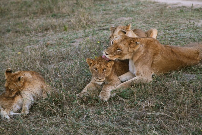 kapama lions grooming