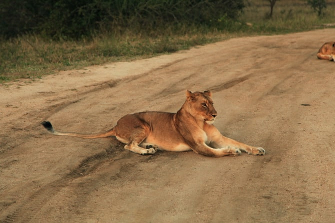 kapama lions sees leopard