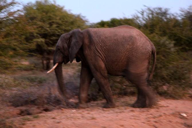 kapama male elephant