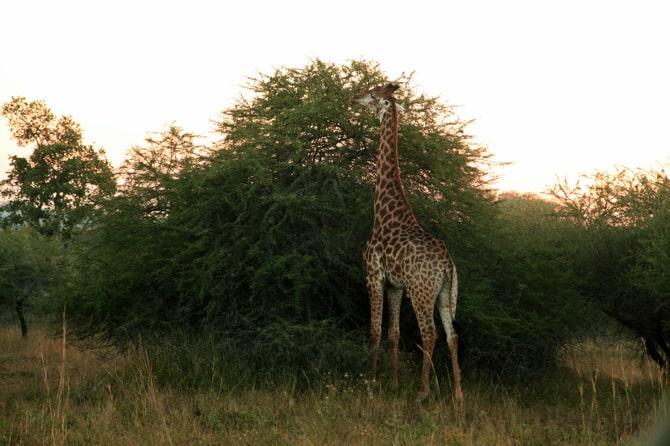 kapama giraffe