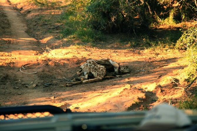 giraffe carcass remains 1