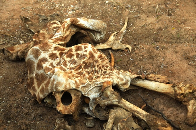 giraffe carcass remains