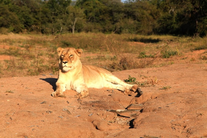 kapama lioness