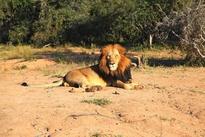 kapama male lion afternoon
