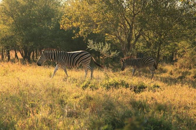 kapama dazzle zebras
